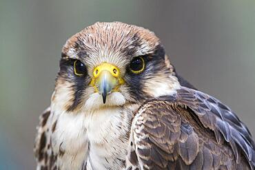 Lanner falcon (Falco biarmicus), Germany, Europe