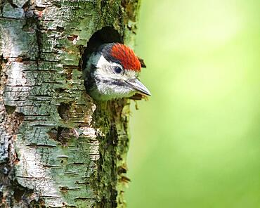Young spotted woodpecker looking out of Great spotted woodpecker (Dendrocopos major), Germany, Europe