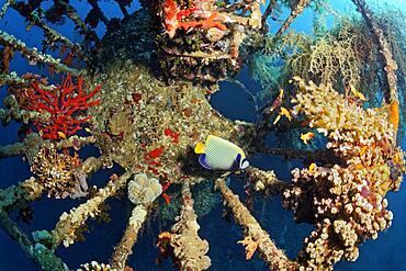 Lookout overgrown with Klunzinger's soft corals (Dendronephthya klunzingeri), Emperor angelfish (Pomacanthus imperator) Shipwreck, Wreck, Cedar Pride, Red Sea, Aqaba, Kingdom of Jordan
