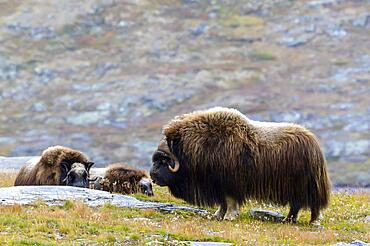 Musk oxes (Ovibos moschatus) in autumn landscape, fells, herd, Dovrefjell-Sunndalsfjella National Park, Norway, Europe