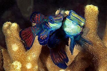 Mating Mandarinfishes (Synchiropus splendidus), Lyrefish, Indian Ocean, Pacific Ocean