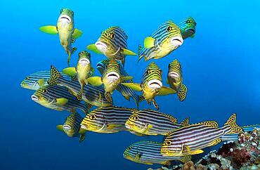 Small school of fish Oriental sweetlips, Striped sweetlips (Gaterin orientalis), Indian Ocean, Maldives, Asia