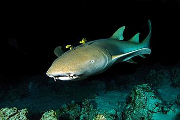 Nocturnal Tawny nurse shark (Nebrius ferrugineus) with black golden pilot mackerel (Gnathanodon speciosus), Golden mackerel, Indian Ocean, Maldives, Asia