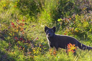 Arctic fox (Vulpes lagopus) or ice fox, Hornstrandir, Vestfiroir, Iceland, Europe