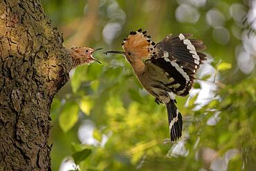 Hoopoe (Upupa epops), with insect, feeding young bird in flight, Lausitz, Saxony, Germany, Europe