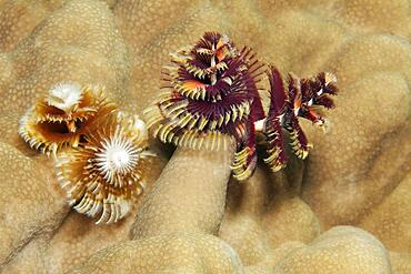 Two, Christmas tree worm (Spirobranchus giganteus) on stone coral (Porites), Red Sea, Aqaba, Kingdom of Jordan