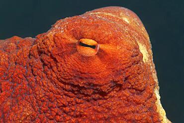Eye of common octopus (Oktopus vulgaris), Red Sea, Aqaba, Kingdom of Jordan