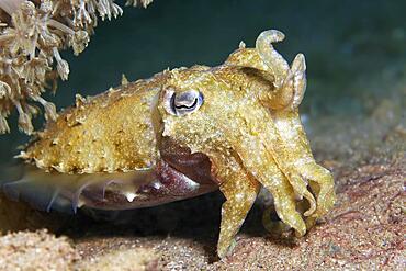 Broad-armed Sepia, or Broadclub Cuttlefish (Sepia latimanus), juvenile, Red Sea, Aqaba, Kingdom of Jordan