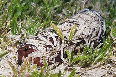 Sea cucumber also sea cucumber or holothuria (Holothuria) camouflaged with seaweed, Red Sea, Aqaba, Kingdom of Jordan