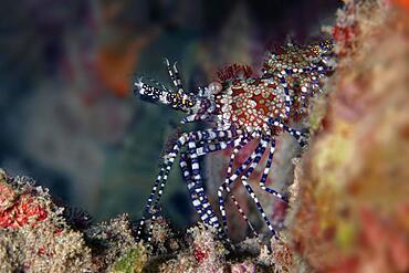 Common marbled shrimp (Saron marmoratus), Purple-footed marble shrimp, Red Sea, Aqaba, Kingdom of Jordan