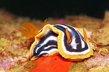 Pyjama Chromodoris quadricolor (Chromodoris Quadricolor) Magnificent star snail, nudibranch, Red Sea, Aqaba, Kingdom of Jordan