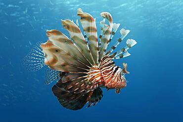 Indian lionfish (Ptrois miles) swimming in the open sea, Red Sea, Aqaba, Kingdom of Jordan
