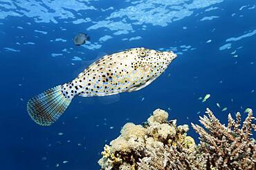 Scrawled filefish (Aluterus scriptus) swimming over coral reef, Red Sea, Aqaba, Kingdom of Jordan