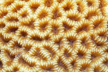 Large-pored stony coral (Coeloseris mayeri) with indented polyps, Red Sea, Aqaba, Kingdom of Jordan