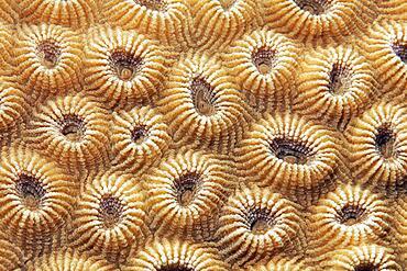 Stone coral (Favia favus), detail with indented polyps, Red Sea, Aqaba, Kingdom of Jordan