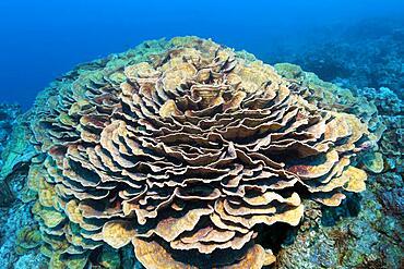 Green Eyed Cup Coral (Mycedium elephantotus), Red Sea, Aqaba, Kingdom of Jordan