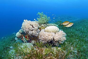 Small patch reef in seagrass meadow with predominantly Xenia (Xenia) soft corals, pair of dusky spinefoot (Siganus luridus) escapes, Red Sea, Aqaba, Kingdom of Jordan