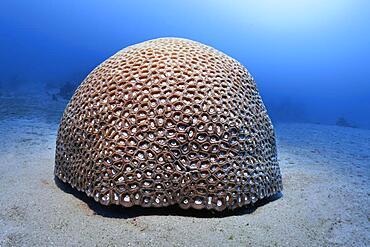 Hemispherical Favia stone coral (Favia speciosa), on sandy bottom Red Sea, Aqaba, Kingdom of Jordan