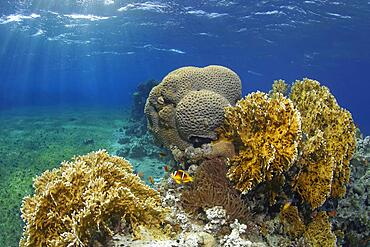 Typical coral reef in seagrass meadow with Red Sea fire coral (Millepora dichotomata), splendour anemone (Heteractis magnifica), Red Sea Red Sea clownfish (Amphiprion bicinctus), behind it Favia Lesser Valley Coral (Favia), Red Sea, Aqaba, Kingdom of Jordan