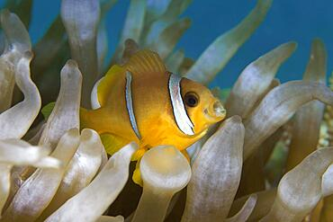 Juvenile Red Sea Red Sea clownfish (Amphiprion bicinctus) with open mouth, Red Sea, Aqaba, Kingdom of Jordan