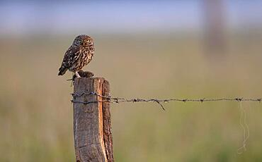Little owl (Athene noctua), sitting with a captured mouse on a pasture pole, Muensterland, North Rhine-Westphalia, Germany, Europe