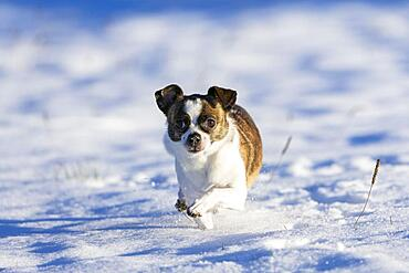 Small Chihuahua dog in the snow, Germany, Europe