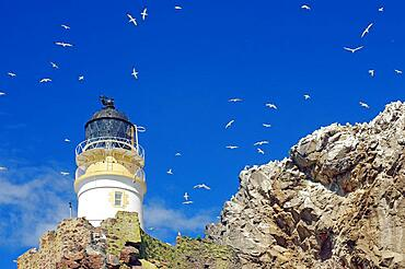 Lighthouse and cliffs, blue sky with countless birds, gannets Bass Rock, North Berwick, Scotland, Great Britain