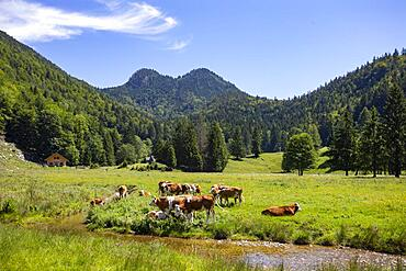 Herd of cows on the mountain pasture at Moosalm near Schwarzensee, municipality of St.Wolfgang, Salzkammergut, Upper Austria, Austria, Europe