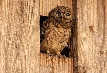 Little owl (Athene noctua), young bird looking out of the entrance of the nest box, Muensterland, North Rhine-Westphalia, Germany, Europe