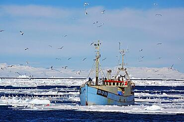Small fishing boat in front of huge icebergs and drift ice, seagulls circling around the boat, drift ice, winter, Disko Bay, Ilulissat, West Greenland, Denmark, Europe