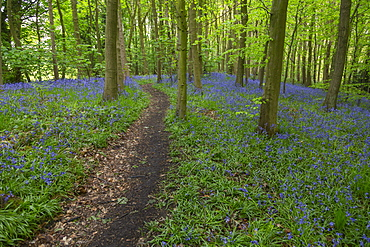 Bluebells in ancient woodland of Gillfield Wood, Totley, Sheffield, South Yorkshire, England, United Kingdom, Europe