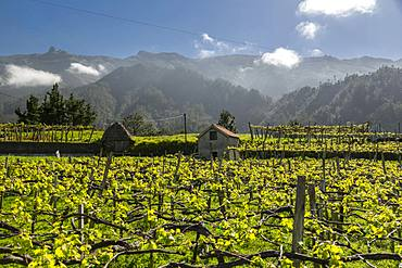 View of vineyard and scenery between Sao Vicente and Funchal, Madeira, Portugal, Atlantic, Europe