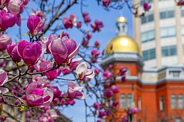 View of magnolia blossom and gold domed building on John Marshall Park, Pennsylvania Avenue, Washington D.C., United States of America, North America