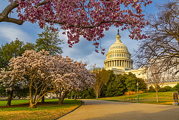 View of the Capitol Building and spring blossom, Washington D.C., United States of America, North America