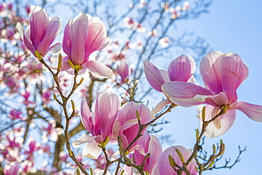 Close up of magnolias, Washington D.C., United States of America, North America