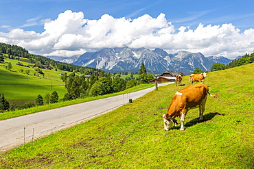 Panoramic view of grazing cattle, mountains and meadows near Untertal, Schladming, Styria, Austrian Tyrol, Austria, Europe
