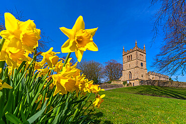 View of daffodills and St Leonard's Church, Scarcliffe near Chesterfield, Derbyshire, England, United Kingdom, Europe