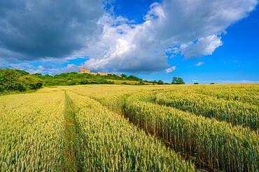 View of Bolsover Castle from unrippened corn field, Bolsover, Derbyshire, England, United Kingdom, Europe