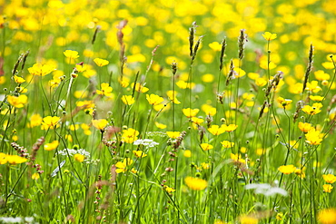 Grasses and flowers in a buttercup meadow at Muker, Swaledale,  Yorkshire Dales, Yorkshire, England, United Kingdom, Europe
