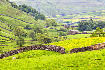 Dry stone wall and field barns below Kisdon Hill in Swaledale, Yorkshire Dales, Yorkshire, England, United Kingdom, Europe