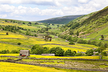 Summer buttercups in Upper Swaledale near Thwaite, Yorkshire Dales, Yorkshire, England, United Kingdom, Europe