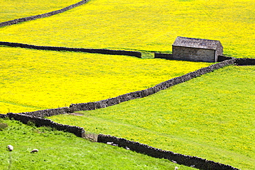 Barn and dry stone walls in buttercup meadows at Gunnerside, Swaledale, Yorkshire Dales, Yorkshire, England, United Kingdom, Europe
