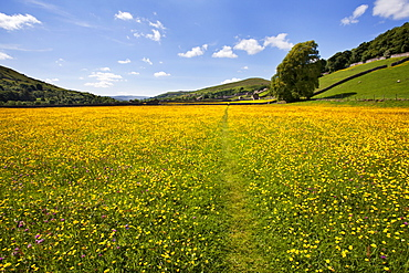 Path across buttercup meadows at Gunnerside in Swaledale, Yorkshire Dales, Yorkshire, England, United Kingdom, Europe
