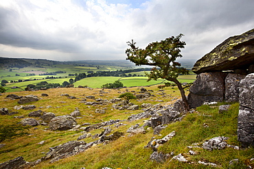 Lone tree above Crummack Dale, Yorkshire, England, United Kingdom, Europe