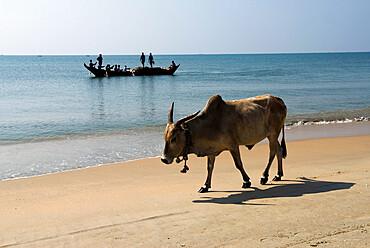 Cattle and fishing boat, Benaulim, Goa, India, Asia