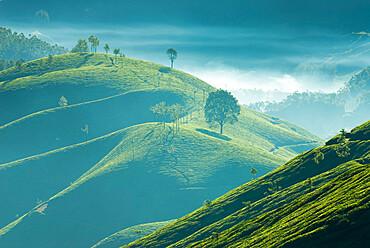 Early morning mist over tea plantations, near Munnar, Kerala, India, Asia