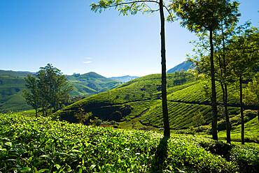 View over tea plantations, near Munnar, Kerala, India, Asia