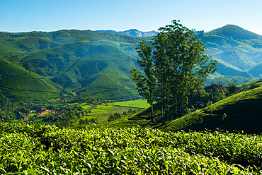 View over tea plantations, near Munnar, Kerala, India, Asia
