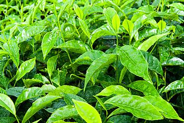 Tea shrub, near Munnar, Kerala, India, Asia