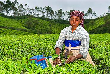 Tea picker, near Munnar, Kerala, India, Asia